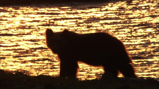 Brown bear and sunset in Hokkaido