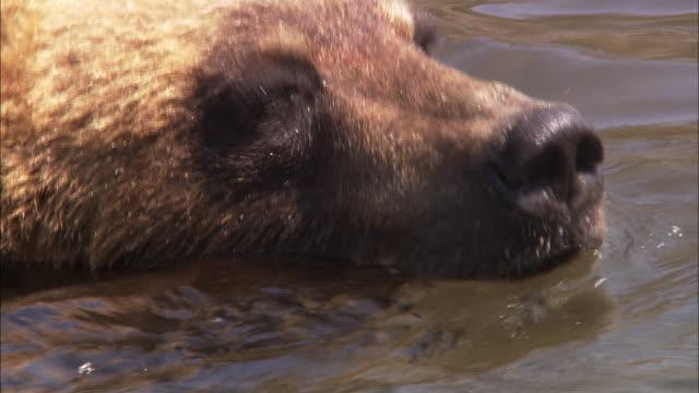 brown bear bathing in hokkaido - animal body part点の映像素材/bロール