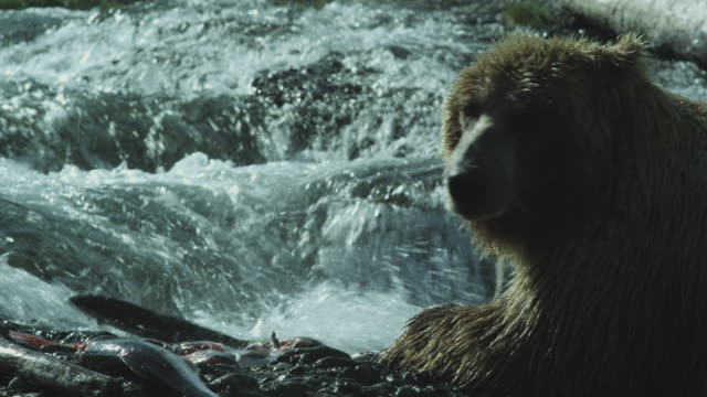 vídeos de stock, filmes e b-roll de brown bear beside waterfall as salmon struggle to regain water, mcneil river game range, alaska, 2011 - onívoro