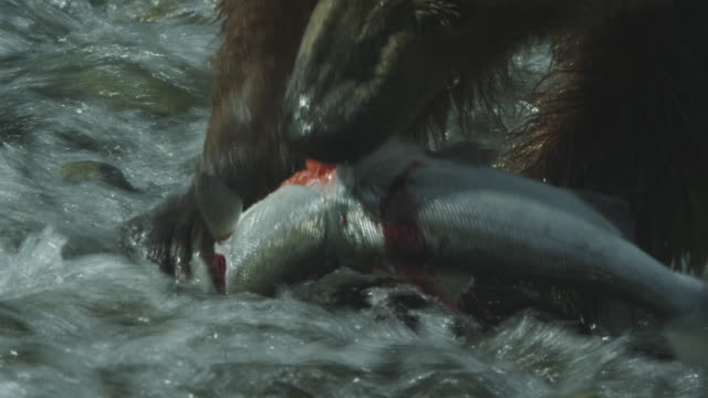 vidéos et rushes de cu brown bear catches and eats salmon, mcneil river game range, alaska, 2011 - ours brun