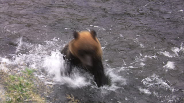 vidéos et rushes de brown bear catching salmon in hokkaido - ours brun