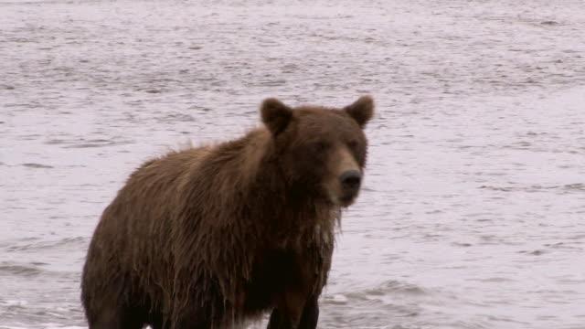 brown bear chases salmon, lake clark national park, alaska - grizzlybär stock-videos und b-roll-filmmaterial