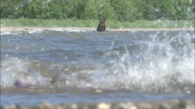 stockvideo's en b-roll-footage met brown bear chasing after sockeye salmon - bruine beer