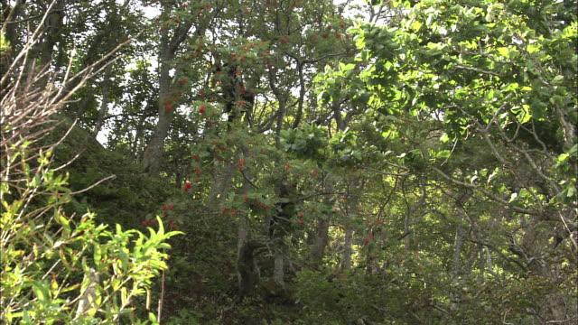 stockvideo's en b-roll-footage met brown bear climbing a tree in hokkaido - bruine beer