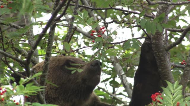 Brown bear climbing a tree in Hokkaido