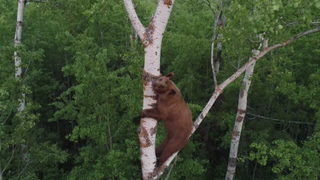 brown bear climbing tree - alberta stock videos & royalty-free footage