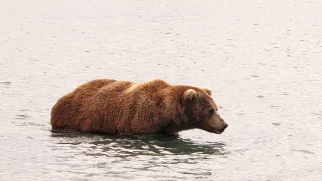 Brown Bear crosses river,  from coastal Alaska