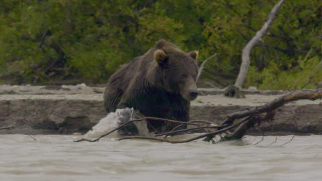 brown bear crossing the lake through the rain in kamchatka, russia - 水の形態点の映像素材/bロール