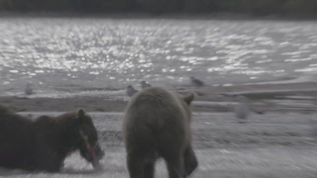 brown bear cub and its mother hunting salmon at kurile lake, kamchatka, russia - catching stock videos & royalty-free footage