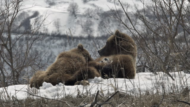 brown bear cub at the breast of its mother, tundra, the north pole - raubtierjunges stock-videos und b-roll-filmmaterial