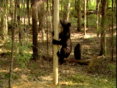 brown bear (ursus arctos) cub climbing pole, russia - failure stock videos & royalty-free footage