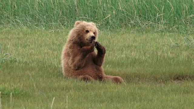 brown bear cub mouthing something, from coastal alaska - くま点の映像素材/bロール