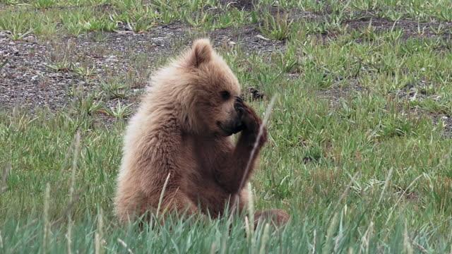 brown bear cub rubs its snout, from coastal alaska - bear cub stock videos and b-roll footage