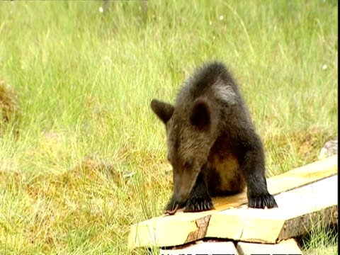 brown bear (ursus arctos) cub scratching on boardwalk, russia - rubbing stock videos & royalty-free footage