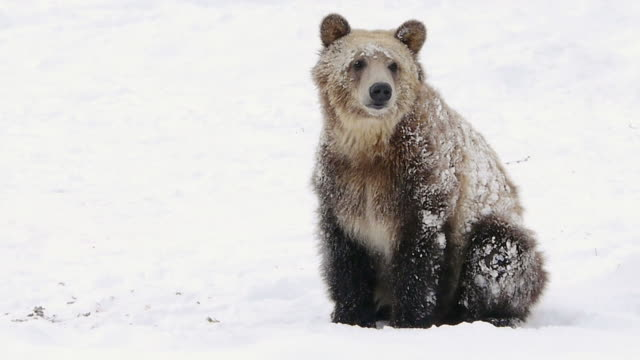 brown bear cub, sitting, sniffing air, grizzly & wolf recovery center, west yellowstone, montana, in winter - yellowstone national park stock videos and b-roll footage
