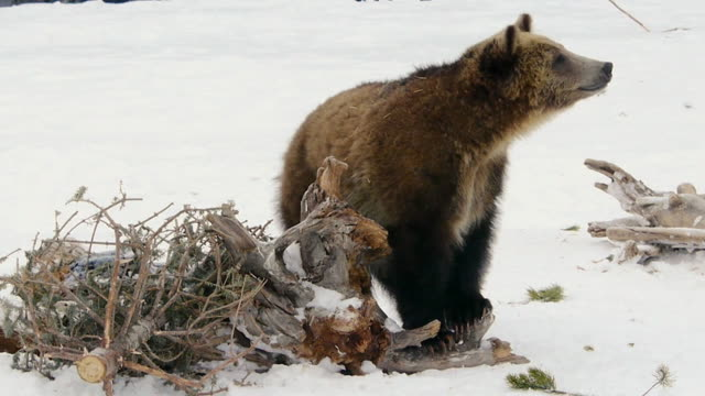 vidéos et rushes de brown bear cub, stands and looks around, grizzly & wolf recovery center, west yellowstone, montana, in winter - ours brun