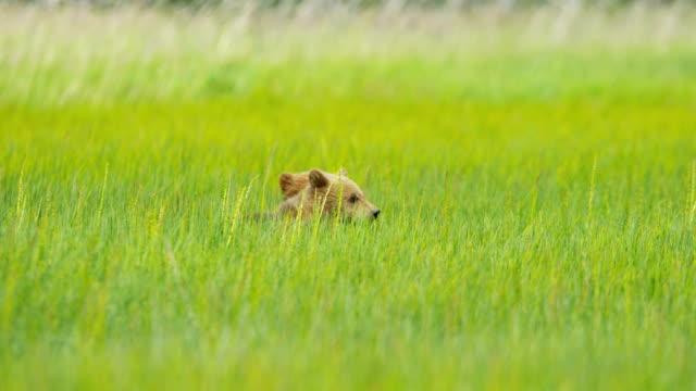 brown bear cubs and adult female wilderness grasslands - bärenjunges stock-videos und b-roll-filmmaterial