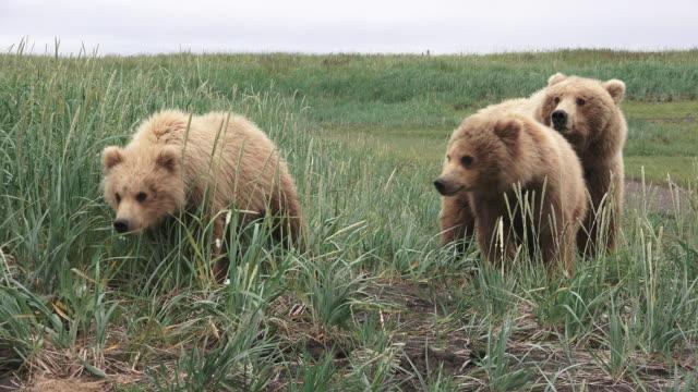 Brown Bear cubs come forward, mom watching them, from coastal Alaska