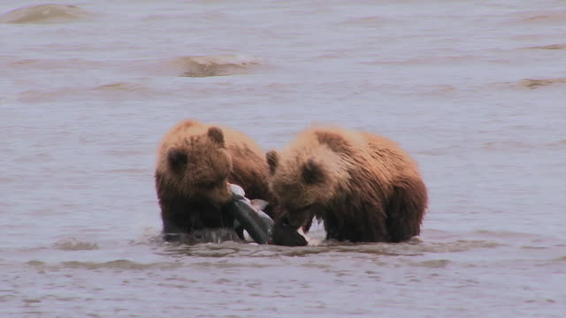 brown bear cubs fight over salmon in shallow water, lake clark national park, alaska - salmone animale video stock e b–roll