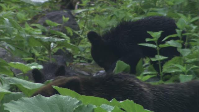 brown bear cubs in hokkaido - brown stock videos & royalty-free footage