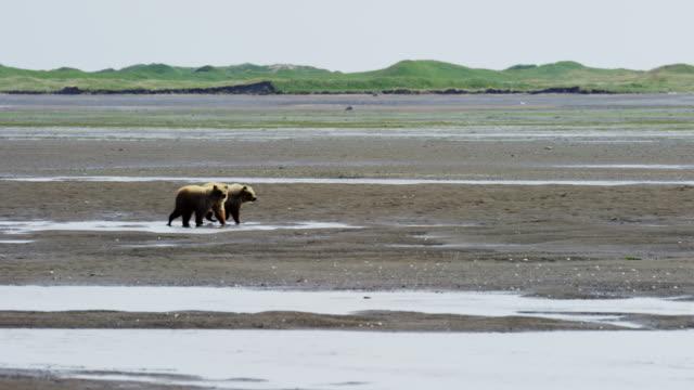 brown bear cubs katmai national park reserve alaska - alaska stato usa video stock e b–roll