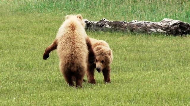 brown bear cubs play, from coastal alaska - bear cub stock videos and b-roll footage