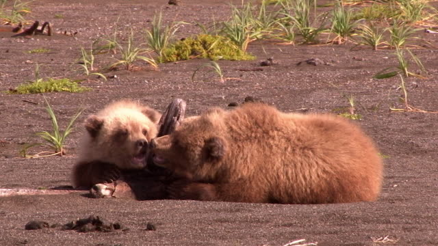 brown bear cubs play together, lake clark national park, alaska - ceppaia video stock e b–roll