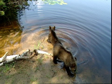 vídeos de stock, filmes e b-roll de brown bear (ursus arctos) cubs playing in water, russia - onívoro
