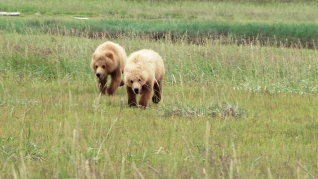 brown bear cubs running and playing, from coastal alaska - bear cub stock videos and b-roll footage