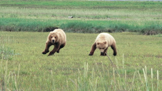 brown bear cubs running and playing, from coastal alaska - bear stock videos and b-roll footage