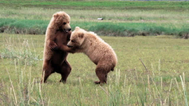 brown bear cubs spar,  from coastal alaska - fight stock videos & royalty-free footage