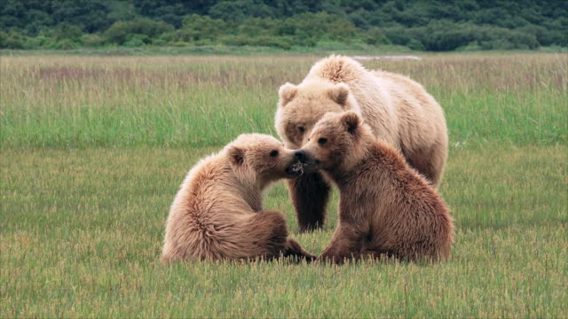 brown bear cubs tussle with each other, then move off with mom, from coastal alaska - raubtierjunges stock-videos und b-roll-filmmaterial