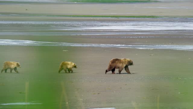 brown bear cubs with mother wilderness katmai alaska - alaska stato usa video stock e b–roll