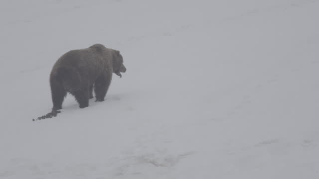 brown bear defecating in the snowfield of valley of geysers, kamchatka, russia - mammal stock videos & royalty-free footage