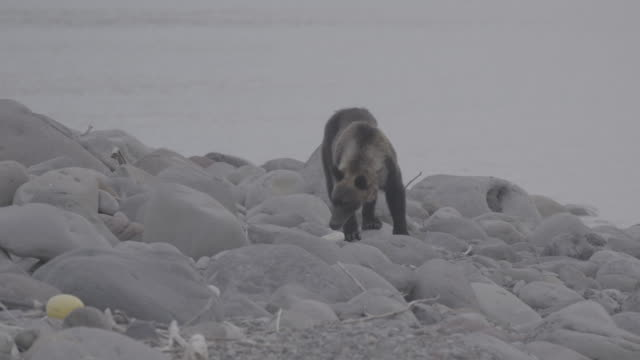 vidéos et rushes de brown bear discovering plastic bottle from the coast of shiretoko national park, hokkaido, japan - environnement