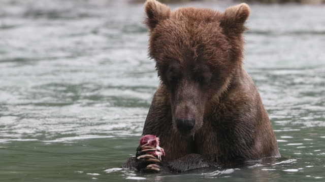 vidéos et rushes de brown bear (ursus arctos) eating a salmon in alaska's chilkoot river - ours brun