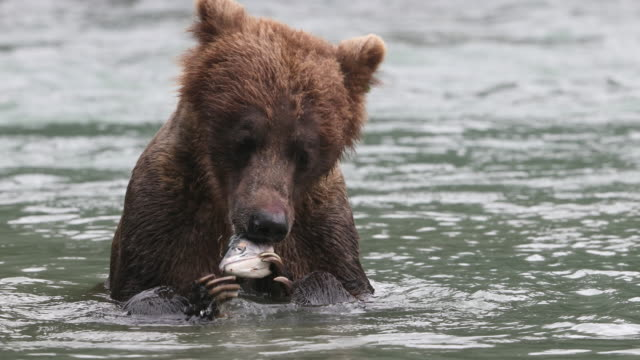 brown bear (ursus arctos) eating a salmon in alaska's chilkoot river - salmon animal stock videos & royalty-free footage