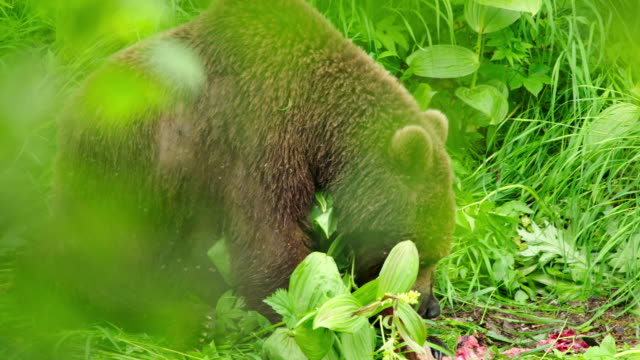 brown bear eating a sockeye salmon in kamchatka,russia - bear stock videos and b-roll footage