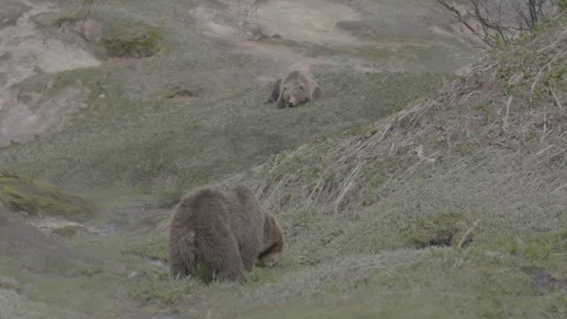 vídeos y material grabado en eventos de stock de brown bear eating grass and another bear lying on front, valley of geysers, kamchatka, russia - oreja animal