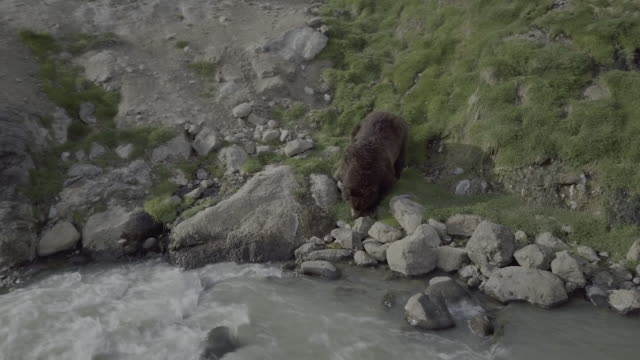 brown bear eating grass in geyser valley, kamchatka, russia - named wilderness area stock videos & royalty-free footage