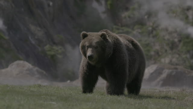brown bear eating grass in geyser valley, kamchatka, russia - quellwasser stock-videos und b-roll-filmmaterial