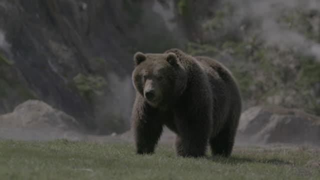 vidéos et rushes de brown bear eating grass in geyser valley, kamchatka, russia - source naturelle