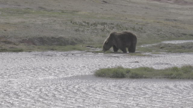 brown bear eating grass in the riverside of valley of geysers, kamchatka, russia - area selvatica video stock e b–roll