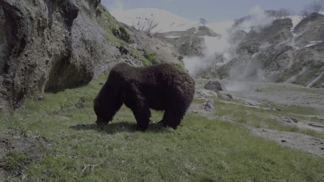 brown bear eating grass in valley of geysers, kamchatka, russia - animal head stock videos & royalty-free footage