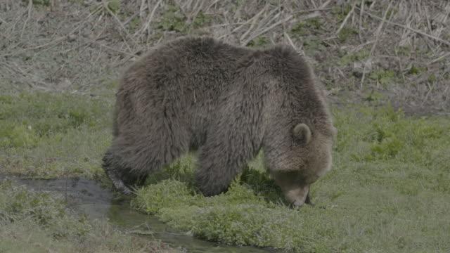 vídeos y material grabado en eventos de stock de brown bear eating grass in valley of geysers, kamchatka, russia - oreja animal