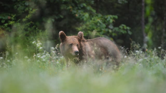 ld brown bear eating in the meadow and looking around - brown bear stock videos & royalty-free footage