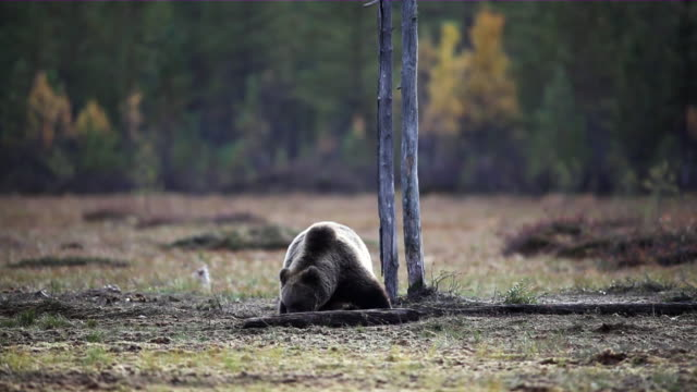 vidéos et rushes de ws brown bear eating near tree in the forest / juntivaara, oulu, finland - ours brun