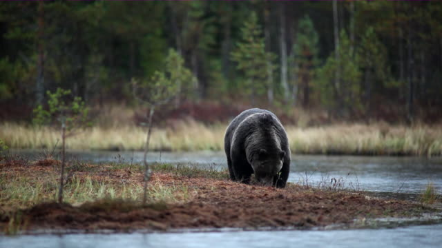vidéos et rushes de ws brown bear eating near water in the forest / juntivaara, oulu, finland - ours brun