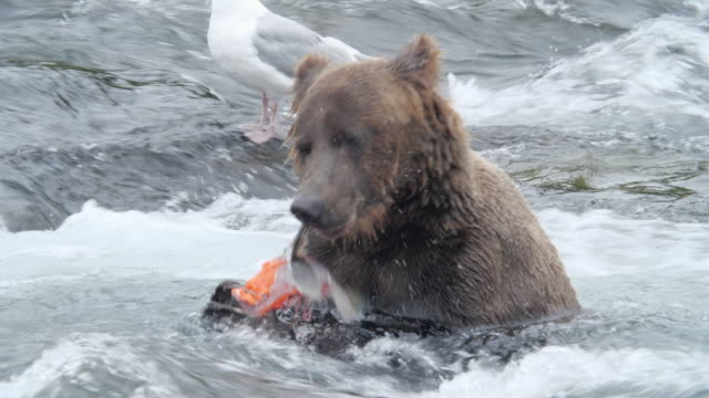 brown bear eating salmon fish at the brooks falls while seagull waiting aside - biting stock videos & royalty-free footage
