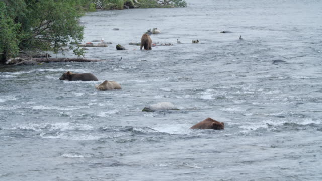 brown bear eating salmon fish while seagulls waiting aside - fischen stock-videos und b-roll-filmmaterial